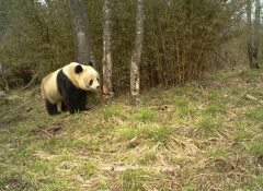 New wireless eyes on pandas in the wild